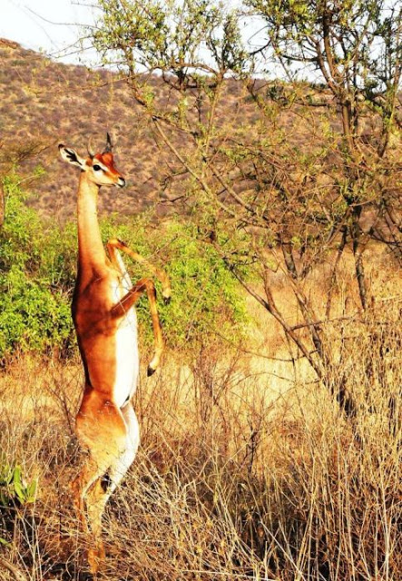 the gerenuk 1