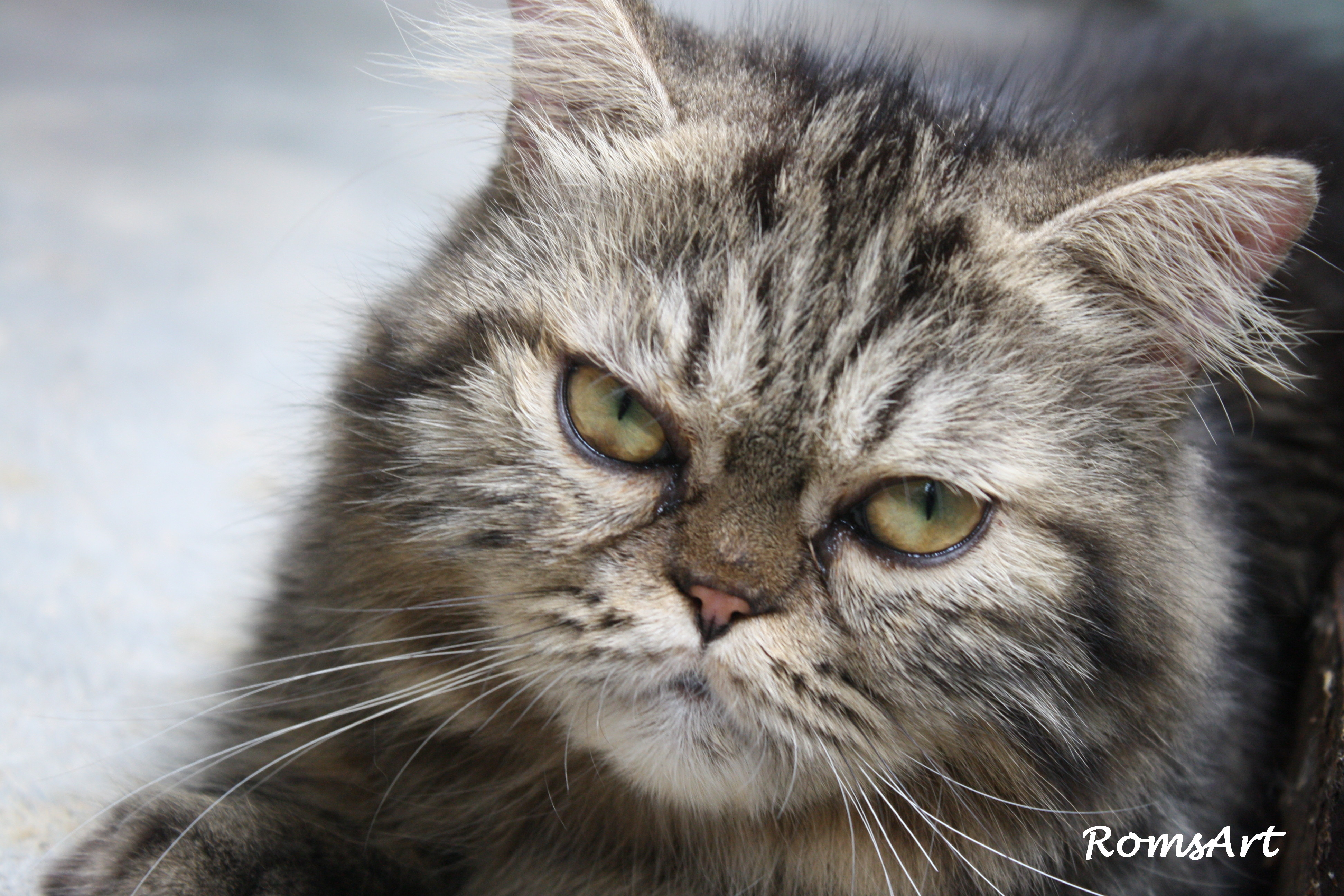 Tips Menjaga Kucing Parsi Blog Roms